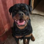 tore_rottweiler_scomparso_lastra_a_signa3