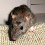 topo animale generica