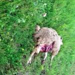 La carcassa di una pecora