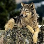 animale_lupo