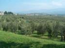 olivi_oliveta