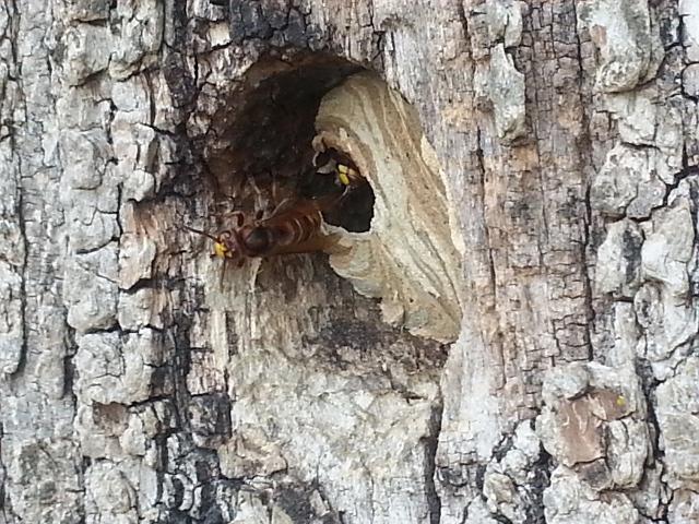 api_vino_unifi_crabro_wasps_tree_nest