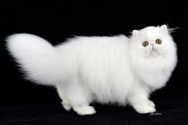 Gatti Grandi Rari E Anche Senza Pelo Tutti In Mostra Per Scatti