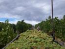 carrello uva in vigna vernaccia san gimignano generica