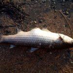 pesce_moria_
