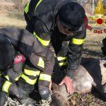 capriolo_incastrato_rete_vigili_del_fuoco_arcidosso_2018_02_15
