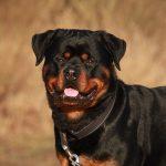 rottweiler-2007652_640