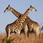 linguaggio_giraffa