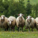 20170218_ciatoscana_gregge-pecore-lupo