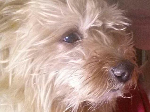 Muore Trudy, il piccolo cane azzannato da un pitbull in centro a Empoli