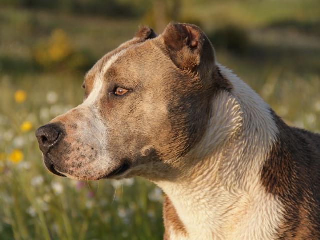Pitbull, denunciato a piede libero il proprietario del cane aggressore