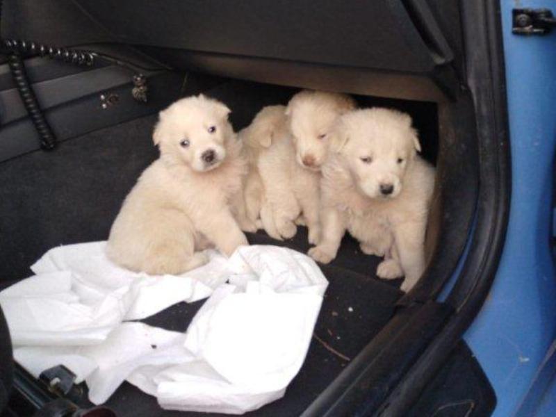 Cuccioli abbandonati a Capalbio, li salva la polizia