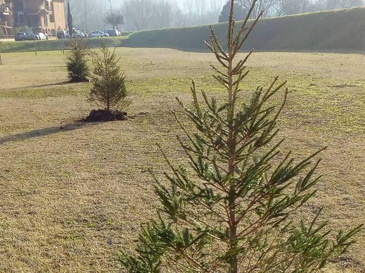alberi natale ripiantati capraia limite