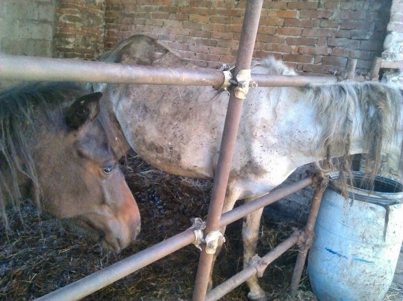 Maltrattò due cavalle nel 2014, condannato il proprietario