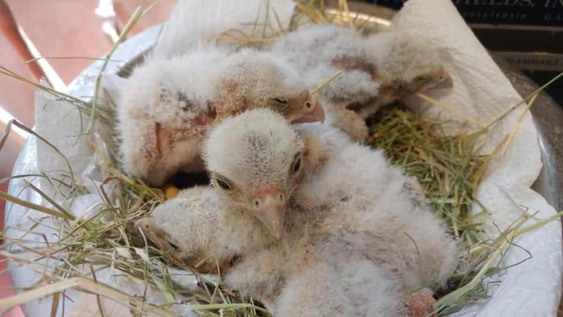 Quattro pulcini di falco in una conceria: salvati