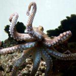il_polpo_comune_come_ispirazione_per_la_robotica_soft_progetto_octopus_credits_massimo_brega