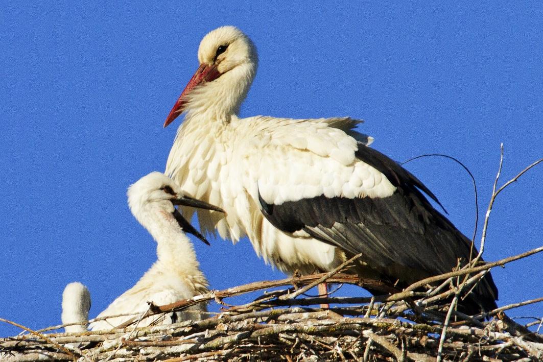 """Italia Nostra a Fucecchio: """"No all'impianto trita-inerti al nido delle cicogne"""" - gonews"""