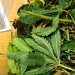 marijuana__gonews_it_4