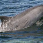 delfino_tursiope_generica